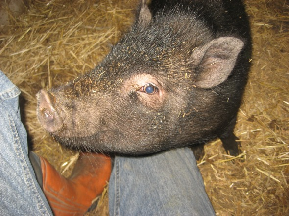 A very cute little pig. Photo - Wim (volunteer)